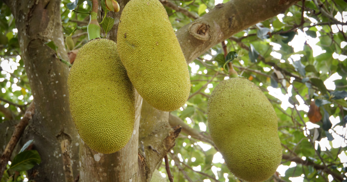 Exotic Tropical Fruits - Jackfruit
