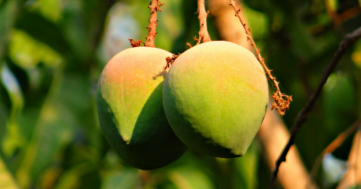 Exotic Tropical Fruits - Mangoes